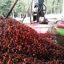 Processing the fruits, by Saffron Coffee