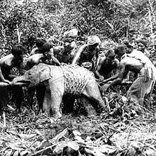 Capture of an elephant close to Luang Prabang